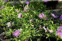 Fiołkowy aster kwitnie w garnkach dla sprzedaży przy ogródu rynkiem, Fotografia Stock