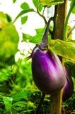 Fiołkowy aubergine lub oberżyna kwitnący Fotografia Stock