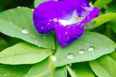 Fiołkowy clitoria kwiat z świeżymi liśćmi z wodnymi kroplami obraz stock