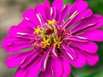 Fiołkowy cynia kwiat fotografia royalty free