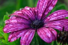 Fiołkowy gerbera kwiat na białym tle z ścinek ścieżką Fotografia Stock