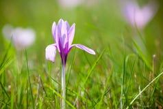 Fiołkowy kwiat Obrazy Royalty Free