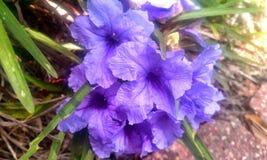 Fiołkowy kwiat Obraz Royalty Free