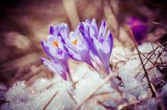 Fiołkowy kwiat - krokus Zdjęcie Royalty Free