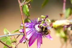 Fiołkowy kwiat passionflower Passiflora makro- z pszczołą rozmyty Zdjęcia Royalty Free