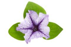 Fiołkowy kwiat petunia z zieleń liśćmi odizolowywającymi na białym tle Obrazy Royalty Free