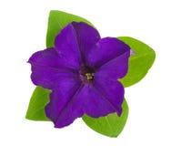 Fiołkowy kwiat petunia z zieleń liśćmi odizolowywającymi na białym tle Zdjęcia Stock
