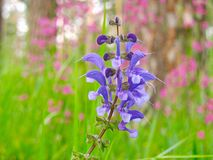 Fiołkowy kwiat przy menchii zieleni tłem outdoors Obrazy Stock