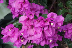 Fiołkowy kwiatostan liść Obrazy Stock