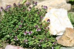 Fiołkowy kwiatu dorośnięcie na kamieniu Obrazy Stock