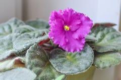 Fiołkowy kwiatu fiołek trawka fioletowy kwiat Obraz Royalty Free