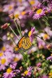 Fiołkowy kwiatu ogród z pomarańczowym motylem zdjęcie stock