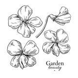 Fiołkowy kwiatu rysunek Wektorowa ręka rysujący grawerujący kwiecisty set vi Obraz Royalty Free