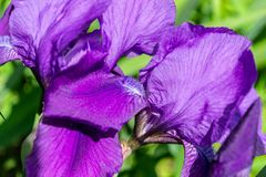 Fio?kowy kwitn?cy irysowy kwiat w ogr?dzie, w g?r? obrazy royalty free