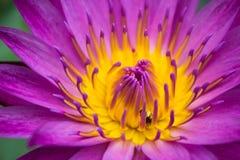Fiołkowy lotos i mała pszczoła Fotografia Royalty Free