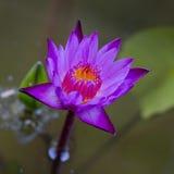 Fiołkowy Lotosowego kwiatu zbliżenie Fotografia Stock