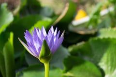 Fiołkowy lotosowy kwiat w wodnym stawie z burr backgroung, Tajlandia obrazy stock
