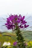 Fiołkowy pająka kwiat - Cleome hassleriana w ogródzie Zdjęcia Royalty Free