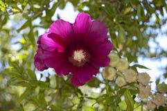 Fiołkowy poślubnika kwiat Zdjęcie Royalty Free