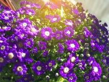 Fiołkowy stokrotka kwiat pod słońca światłem Obrazy Royalty Free