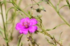 Fiołek i menchia kwiat Zdjęcia Stock