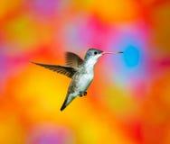 Fiołek Koronowany Humminbird Fotografia Royalty Free
