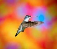 Fiołek Koronowany Humminbird Zdjęcie Royalty Free