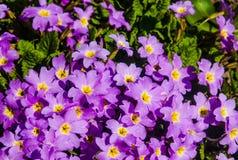 Fiołków ogrodowi dekoracyjni kwiaty CU Obrazy Stock