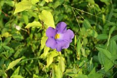 Fiołkowa kwiat natury fotografii tapeta zdjęcie royalty free