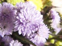 fiołkowa lub purpurowa chryzantema Obraz Stock