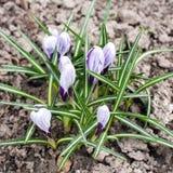 Fio?kowa ?nie?yczki wiosna kwitnie zbli?enie widok obraz royalty free