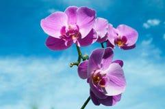 Fiołkowa orchidea 1 fotografia stock