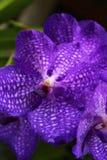 Fiołkowa orchidea Zdjęcie Stock