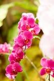 Fiołkowa orchidea Obrazy Royalty Free