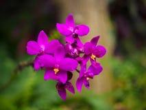 Fiołkowa Spathoglottis plicata orchidea Zdjęcia Stock