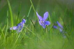 Fiołkowa wiosna kwitnie w trawie Zdjęcia Royalty Free