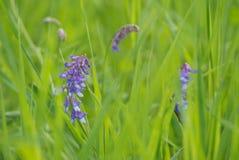 Fiołkowa wyka w wiosny Zielonej trawie Obrazy Royalty Free