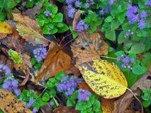 Fiołkowi ageratum kwiaty Zdjęcie Royalty Free