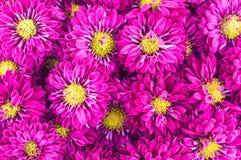 Fiołkowi chryzantema kwiaty zdjęcia royalty free