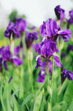 Fiołkowi Irysowi Kwiaty Zdjęcia Royalty Free