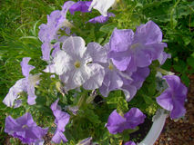 Fiołkowi petunia kwiaty Fotografia Stock