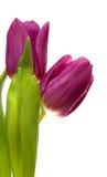 fiołkowi wiosna tulipany Fotografia Stock