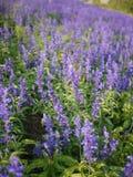Fiołkowy Angelonia kwiatu pole Zdjęcie Royalty Free