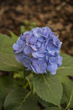 Fiołkowy hortensja kwiat Obrazy Royalty Free