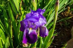 Fiołkowy irysowy kwiat Obraz Royalty Free