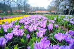 Fiołkowy krokusów kwiatów pole Fotografia Stock