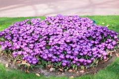 Fiołkowy krokusów kwiatów pole Obrazy Stock