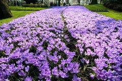 Fiołkowy krokusów kwiatów pole Zdjęcie Royalty Free