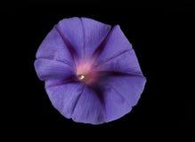 Fiołkowy kwiat Zdjęcie Royalty Free