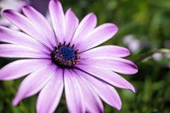 Fiołkowy kwiat Fotografia Stock
